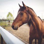 brown horse in corral, door to door horse transport brisbane,