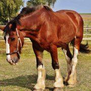 clydesdale horse, affordable horse transport, horse transport door to door