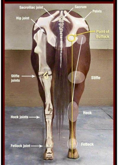 Anatomy Of A Horse - The Back Legs - East Coast Horse Transport