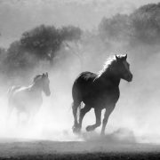 horses running through dust, horse transport ADELAIDE