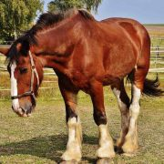 clydesdale horse, affordable horse transport, horse transport door to door