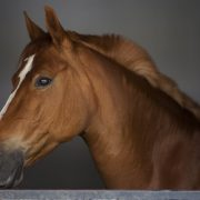 brown horse transport brisbane, horse transport bendigo, horse transport wollongong